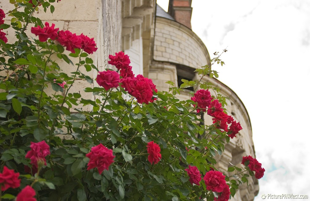 Lovely roses outside the castle (David's France Gallery)