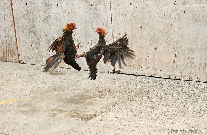 These islands are full of Roustabout Roosters (Sailing the British Virgin Islands)