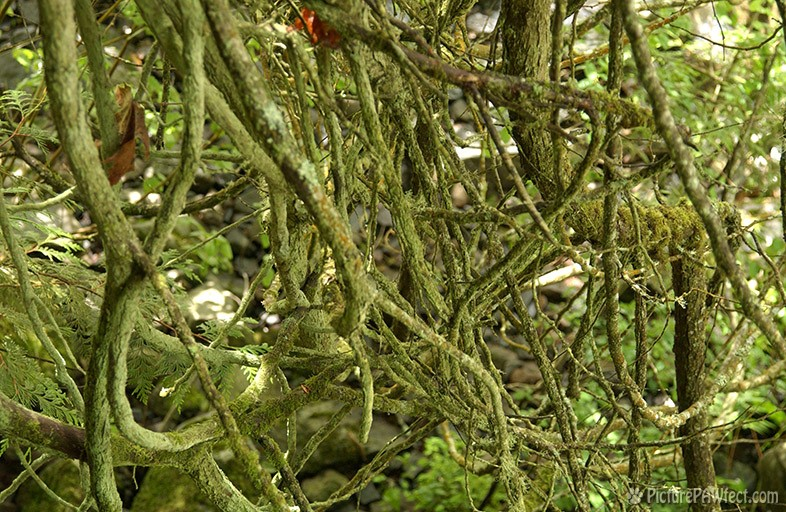 Tangled Mossy Brances (Textures)