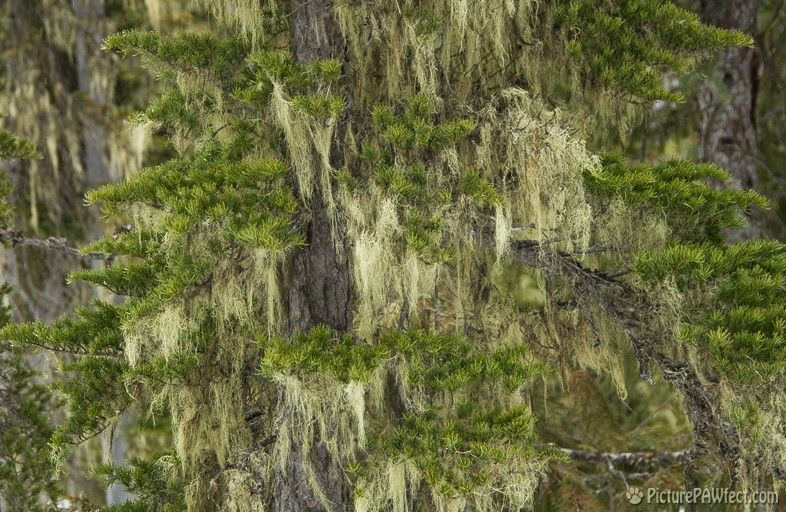 Mossy trees in mountains behind Whistler, B.C. (Textures)