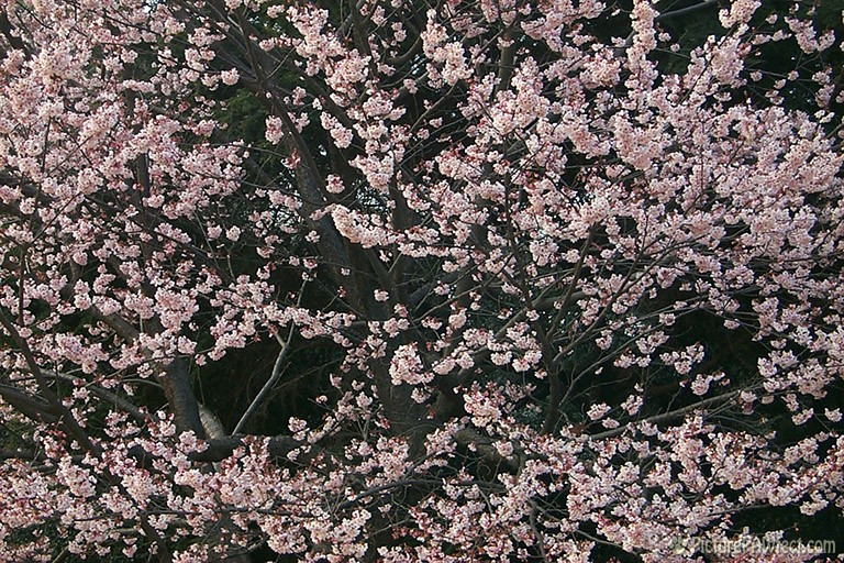 Flowering Japanese Plum (Textures)